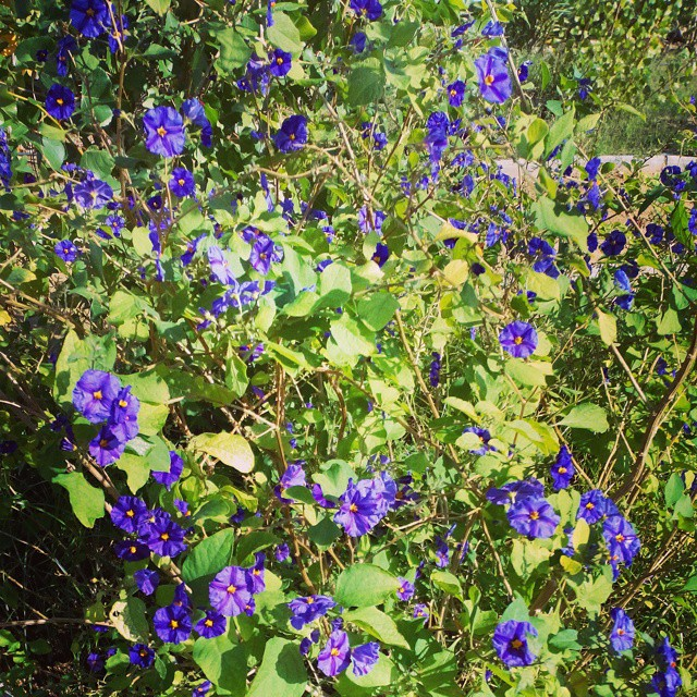 Blue Flowers Torrevieja, Spain