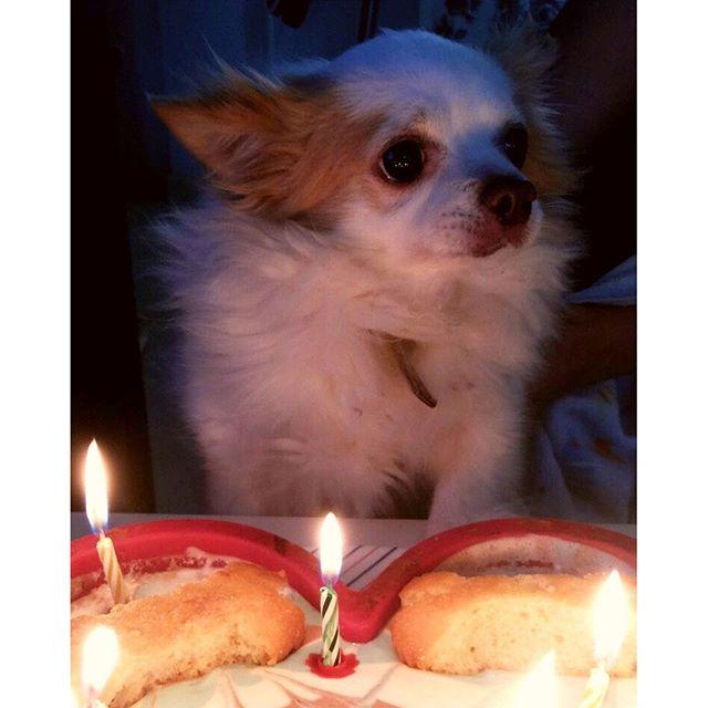 Birthday guy. Just turned 9!#dog #dogsofinstagram #cute #love #chihuahua #instadog #petstagram #chihuahuasofinstagram #pet #dogstagram #chihuahuaworld #chihuahuas #spain #doglover #food #dogoftheday #dogs_of_instagram #cake #birthday #eyes #funny #instagood #instahub #dogstagram #pets #pup #puppy #petsagram #animals #fun