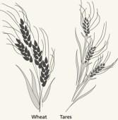 wheat-tares_1171257_inl