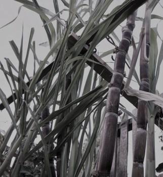 sugar-cane-2