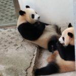 Melihat Panda Di Guangzhou Zoo