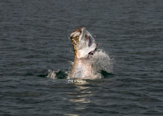 Tarpon Fishing - Florida