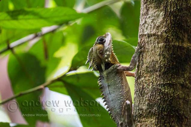 Boyd's Forest Dragon on rainforest tree