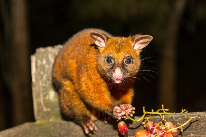 Image of possum eating fruit in Eungella National Park