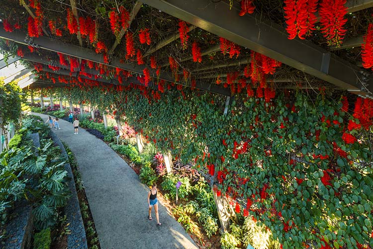 A woman walking under an arbour walkway laided with flowers in full bloom