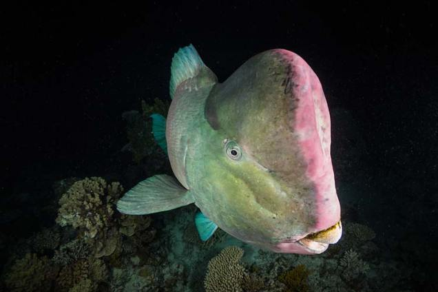 A bumphead parrotfish at night on the Great Barrier Reef