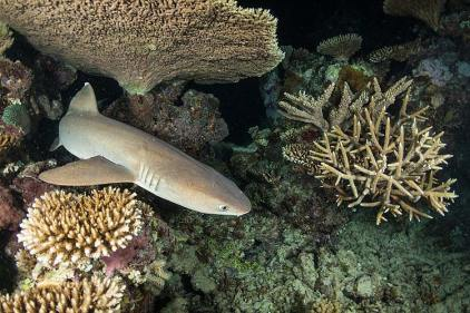 A white-tip reef shark hunting amongst the corals at night on the Great Barrier Reef