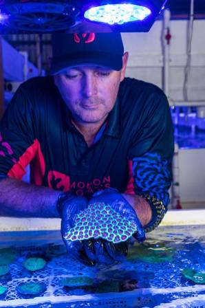 Man holding a piece of Acanthastrea spp species coral under blue light