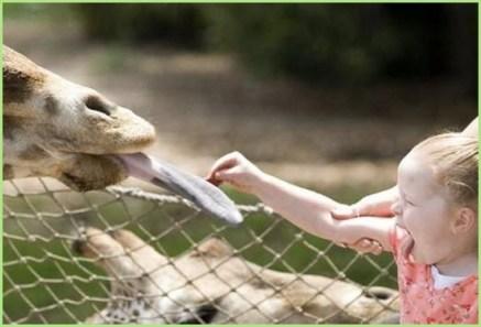 Язык жирафа девочку впечатлил