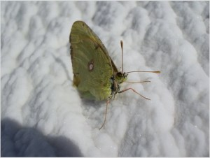 Бабочка замёрзла