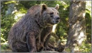 Важный медведь
