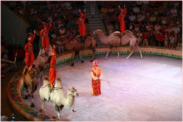 Верблюды в цирке
