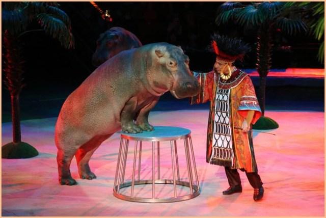 Бегемот в цирке