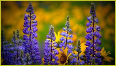 цветы люпин