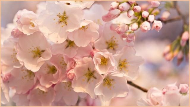 Вишня цветёт