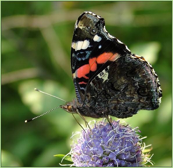 картинка бабочка адмирал