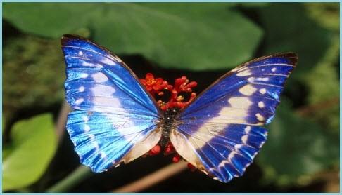 фото голубая бабочка
