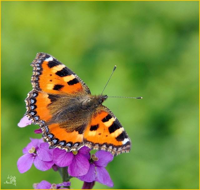 фото бабочка крапивница