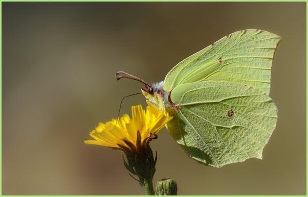 фото бабочка лимонница