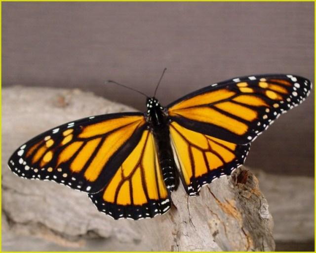 фото жёлтая бабочка