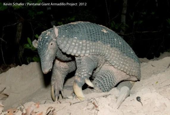 Giant Armadillo (Priodontes maximus) Wild, Pantanal, Brazil