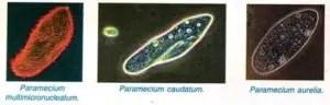 Paramecium caudatum Habitat Structure and locomotion 1