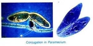 Paramecium caudatum Habitat Structure and locomotion 24