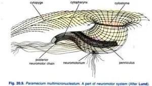 Paramecium caudatum Habitat Structure and locomotion 12