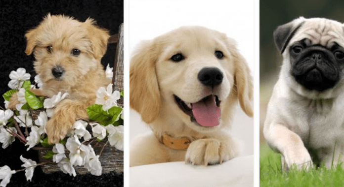 Puppies Download Best Free Live Wallpapers for Android
