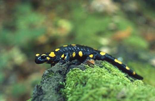 Salamandra_salamandra_(Marek_Szczepanek)