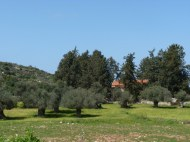 view through the olive trees