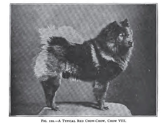 How breeders and judges destroyed the unique Chow-Chow (5/6)