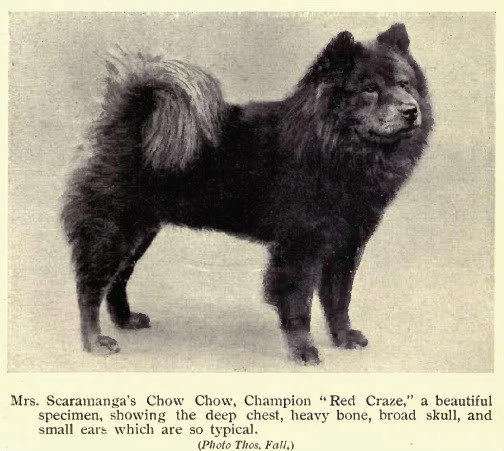 How breeders and judges destroyed the unique Chow-Chow (3/6)