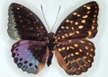 Unusual Butterfly Makes Rare Appearance