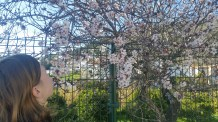 almond trees in bloom!