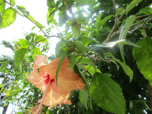 Z took this picture of a flower in our yard. Is it a hibiscus? Anyone know?