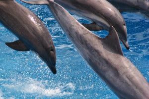 By Curimedia | P H O T O G R A P H Y (Blue Horizons Dolphin show Uploaded by tm) [CC BY 2.0 (http://creativecommons.org/licenses/by/2.0)], via Wikimedia Commons