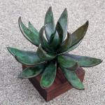 Andy Rader - Bronze - Echeveria Hybrid 'Black Knight'