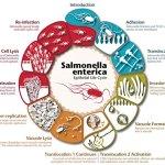 Andy Rader - Scientific Illustration - Salmonella Infographic