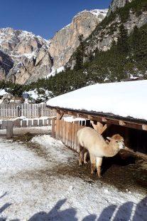 Snow Alpaca