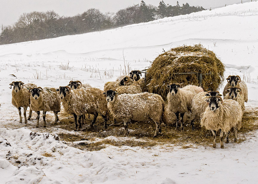 Winter Feeding near Bowes