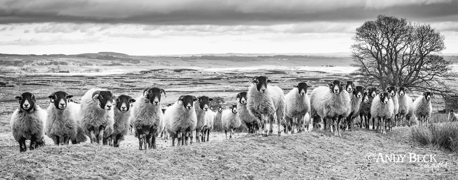 Line Up of sheep
