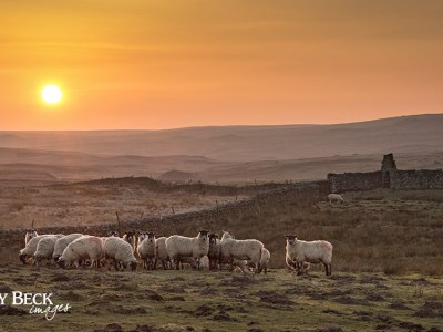 Swaledale sheep at sunset