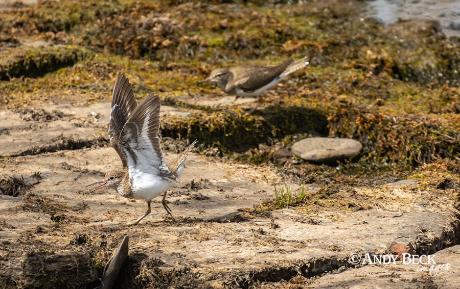 Common Sandpipers courting