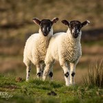Stick close to me...Swaledale lambs