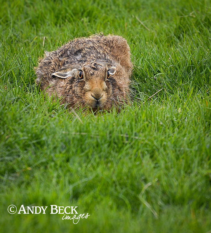 Eye to eye contact. Brown Hare