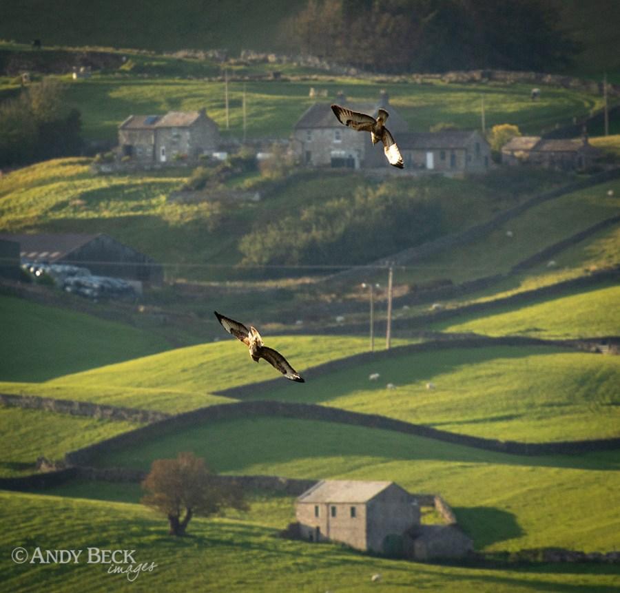 Buzzard aerobatics 3