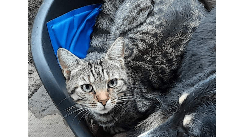 Biggles the Cat was missing: he has now come home!
