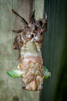 This cicada emerges from its exoskeleton after years of living underground.