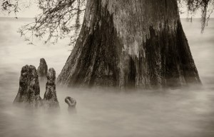 Lake Maurepas cypress trees photography